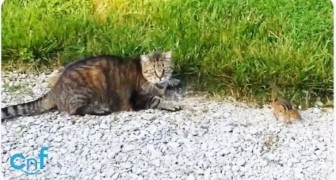 A small squirrel decides to stand up against a cat !!