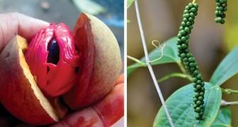 Voici l'aspect original de 8 épices que nous utilisons souvent pour cuisiner, avant d'être récoltées