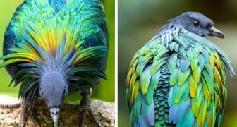 Il piccione delle Nicobare: l'uccello dal piumaggio coloratissimo e cangiante che sta diventando sempre più raro