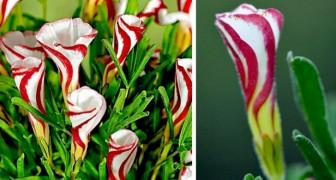 Questa pianta unica nel suo genere produce fiori che ricordano i bastoncini di zucchero candito