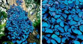 Un fotografo immortala un albero ricoperto da centinaia di farfalle blu: sembra una scena da fiaba