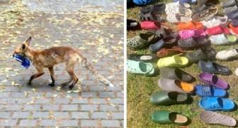 Una volpe appassionata di calzature ha rubato ogni notte scarpe, infradito e ciabatte dalle case del vicinato