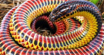 Repéré dans la nature un serpent arc-en-ciel rare : un reptile multicolore et non agressif