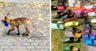 Una volpe innamorata delle calzature ha rubato ogni notte scarpe e ciabatte dalle case di questo quartiere