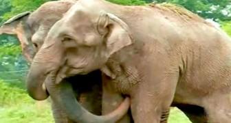 Twee olifanten die uit een wreed circus zijn gered, komen na 22 jaar weer bij elkaar: de beelden van de ontmoeting zijn ontroerend