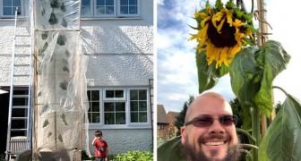 Para hacer feliz al hijo decide cultivar un girasol de récord: la planta supera los 6 metros de altura