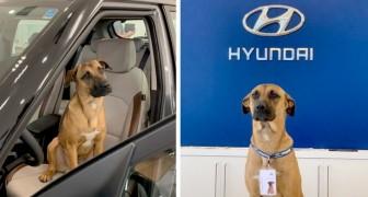Ein streunender Hund besucht jeden Tag die Mitarbeiter eines Autohändlers: Am Ende stellen sie ihn mit einer Marke ein