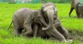Chaque fois qu'il pleut ces éléphants se comportent comme ça: pure joie!