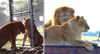 Tanya et Tarzan, les lions du cirque libérés après 8 ans de captivité : ils n'avaient jamais couru sur une prairie auparavant