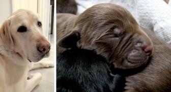 Um Labrador de pelos claros dá à luz a 13 filhotes com pelos pretos: uma fofura infinita!