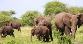 Boom der Elefantengeburten in Kenia dank des reichlichen Regens: Es gibt mindestens 170 Junge