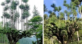 Daisugi, die tausendjährige japanische Technik, mit der Holz erzeugt wird, ohne dass diese Zederbäume jemals gefällt werden