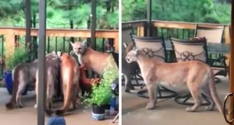 Er wacht auf, um laufen zu gehen, findet aber eine Familie von Pumas im Hinterhof...