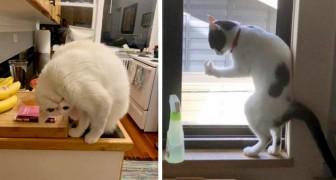 Qu'est-ce qui ne va pas avec mon chat ? : 12 félins qui ont décidé de se comporter d'une manière plutôt bizarre et hilarante