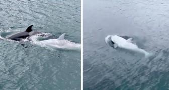 Une rare orque blanche a été aperçue dans les eaux de l'Alaska : on pense qu'il n'y en a que cinq dans le monde