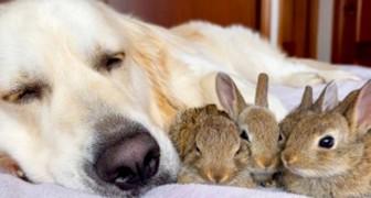 Un Golden Retriever au cœur d'or veille sur des petits lapins : ils pensent qu'elle est leur seconde maman