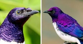 Lo storno ametista: l'uccello i cui sgargianti colori viola e blu ricordano quelli di una pietra preziosa
