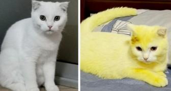 Un chaton blanc devient tout jaune après que sa maîtresse lui ait soigné une infection avec un scrub au curcuma