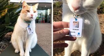 Un gatto vaga per un anno nel cortile di un ospedale: alla fine viene assunto come addetto alla sicurezza