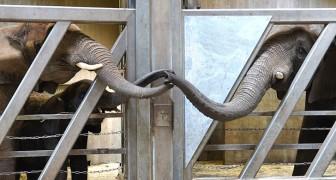 Un'elefantessa accarezza la proboscide della figlia quando la rivede dopo 12 anni di lontananza