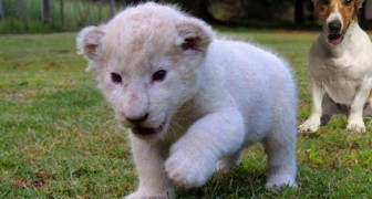 This little white lion has finally found two very special parents! He is sooo cute !