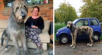Die Besitzer der irischen Windhunde haben Fotos gemacht, die zeigen, wie groß sie sind