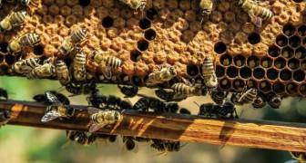 Il veleno delle api riuscirebbe ad uccidere anche la forma più aggressiva del cancro al seno: il nuovo studio