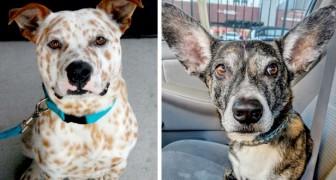15 pitbulls die het geluk hadden zich te mengen met andere rassen, waardoor spectaculaire honden ontstonden