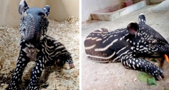 A Singapore nasce il primo esemplare maschio di tapiro della Malesia dopo 10 anni di fiocchi rosa