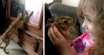 Een haas bezoekt elke dag een mensenfamilie die hem heeft gered en acht weken lang heeft gevoed