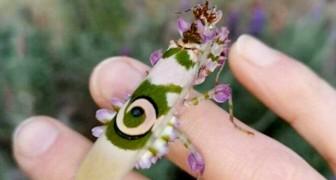 Une femme trouve dans la lavande de son jardin une rare mante religieuse fleur épineuse : les images sont féeriques
