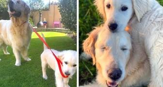 Este adorável cachorrinho guia seu amigo cego de quatro patas: eles são inseparáveis