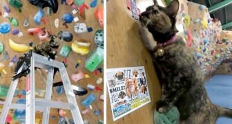Un gatto è riuscito a scalare la parete di una palestra di arrampicata osservando i movimenti dei clienti