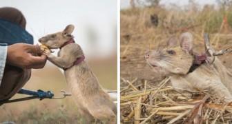 Questo topo addestrato riesce a fiutare le mine anti-uomo e a salvare migliaia di vite umane da ferite e mutilazioni
