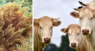 Un team di scienziati sviluppa un integratore per mucche che riduce dell'80% le loro emissioni di metano
