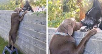 Regalano uno sgabello al cane in modo che possa salutare i suoi amici dall'altra parte del muro
