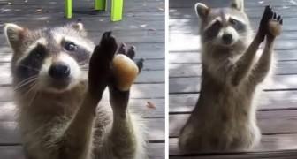 Ein Waschbär klopft jedes Mal mit einem Stein gegen das Fenster, wenn er den leeren Katzennapf findet: das Video ist sehr süß...