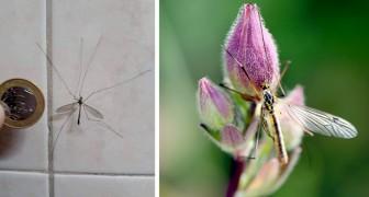 Die Typula, das Insekt, das zu Unrecht mit einer Mücke verwechselt wird: all die Gründe, warum wir es nicht töten sollten
