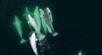 Un branco di beluga bianche adotta un narvalo che si era perso nel fiume: il video fa sognare