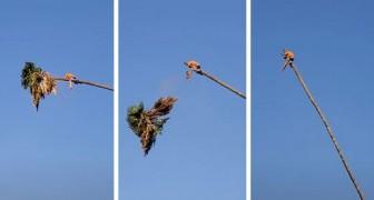 Taglia la chioma di una palma e il tronco lo catapulta all'indietro: il video mette i brividi