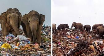 Questi elefanti mangiano plastica e rifiuti in una discarica: immagini strazianti che non vorremmo mai vedere