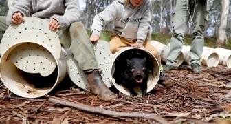 26 tasmanische Teufel sind in Australien freigelassen worden - das erste Mal seit mindestens 3000 Jahren auf dem Kontinent
