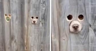 Una donna crea dei fori nella staccionata così i suoi cani possono guardare fuori: le immagini sono uno spasso