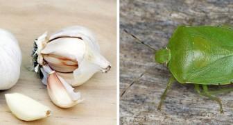 4 rimedi naturali facili da preparare per allontanare efficacemente le fastidiose cimici