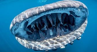 Een walvishaai heeft meer dan 50 vissen tussen zijn kaken: een foto die meer uniek is dan zeldzaam