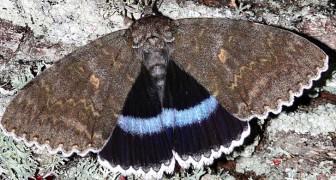 Un papillon de nuit géant a été découvert dans les environs de Tchernobyl : dans le ciel il ressemble à un oiseau