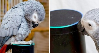Een papegaai bootst perfect de menselijke stem na en slaagt erin om zijn favoriete eten bij Alexa te bestellen