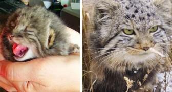 Een boer vindt 4 kittens in de stal, maar ontdekt later dat het zeldzame exemplaren van wilde katten zijn