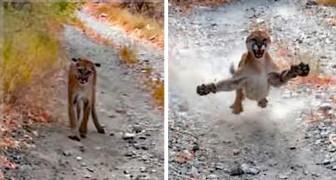 Un garçon est poursuivi par un puma pendant six très longues minutes : la vidéo est effrayante