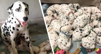 This dalmatian gave birth to 18 puppies: the pictures remind us of 101 dalmations